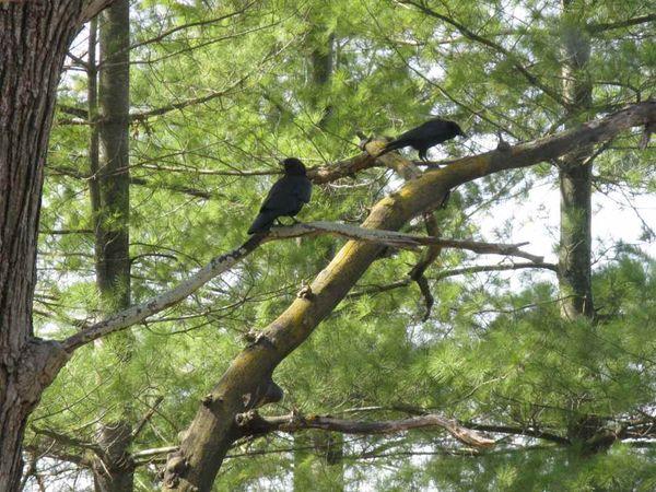 Crow 2c