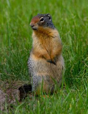 Columbian-ground-squirrel2