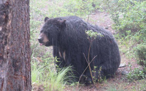 Bear rain