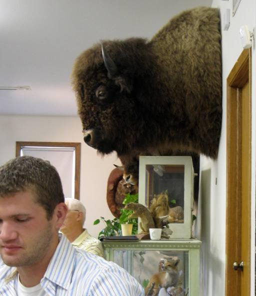 Kauk buffalo