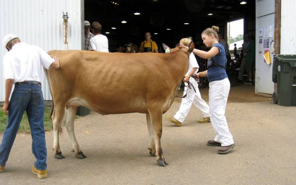 Fair brown swiss