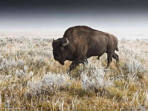 Natl Geog bison