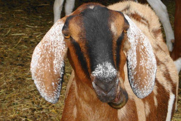 Sheep