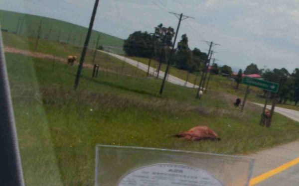 This cow? Not so lucky.