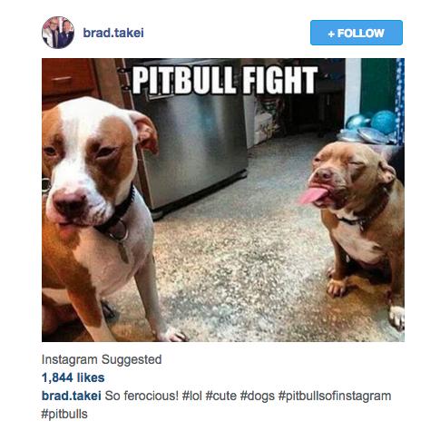 Pit bull fight
