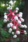 white baneberr.jpg