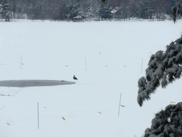 Eagle on lake.jpg