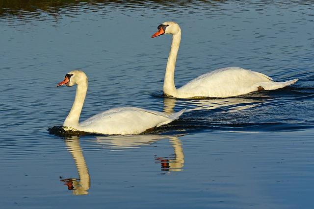 swan-4052161_640.jpg