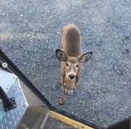 UPS deer