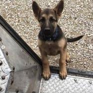 UPS shepherd pup