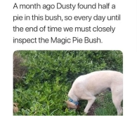 magic pie bush