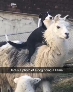 dog on llama