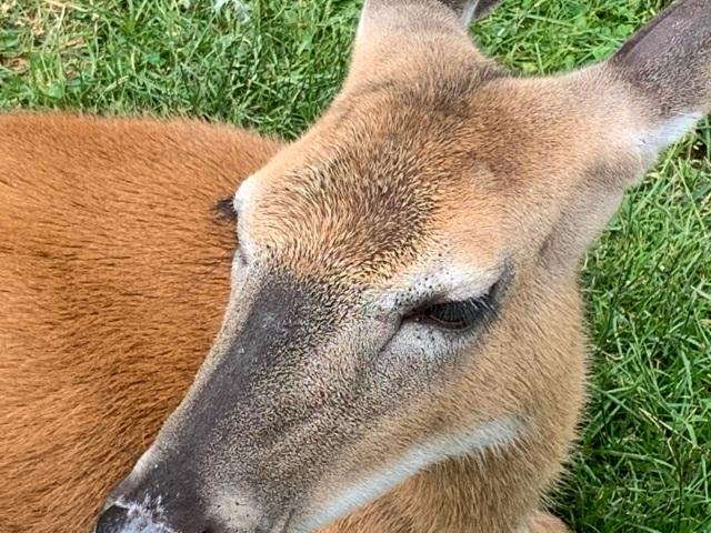 fawn deer eyelashes