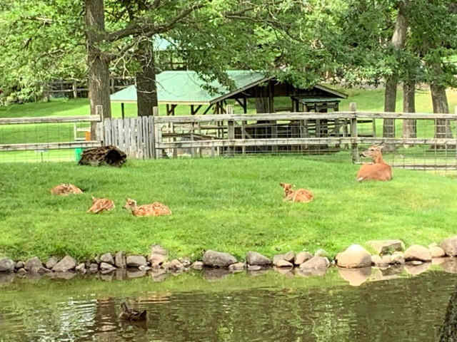 fawn fawns