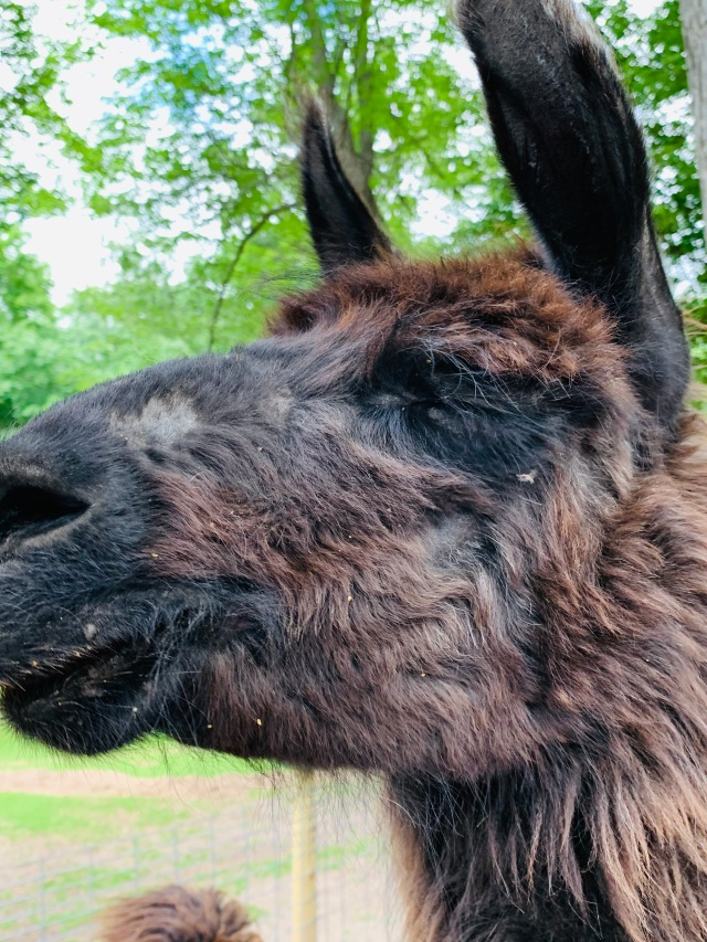 fawn llama