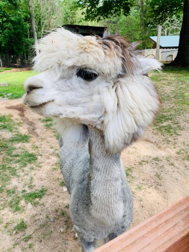 fawn silly alpaca